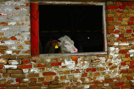 penned: Calf in the barn