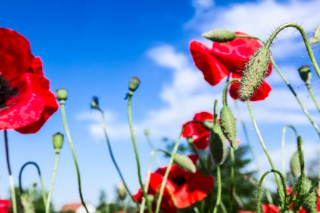 Red poppies on spring meadow and strongly polarized blue sky  photo