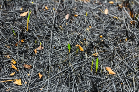 Young plants taking root on ash photo