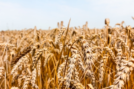 Field of mature wheat before starts harvest Stock Photo - 21061264