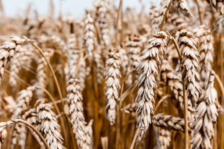 Field of mature wheat before starts harvest Stock Photo - 21061265