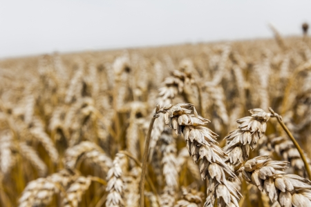 Field of mature wheat before starts harvest Stock Photo - 21061267