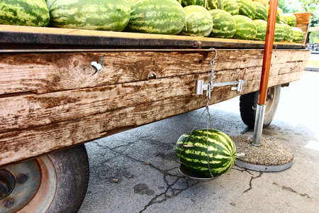 mingled: measuring  a fresh harvested watermelon on scale  Stock Photo