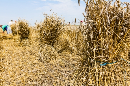 reaping: Farmers reaping on wheat field in the traditional way making bundles for collecting