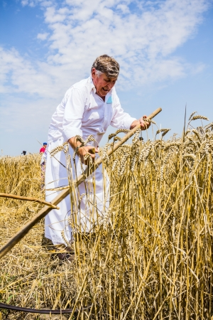 Farmers reaping on wheat field in the traditional old fashion way