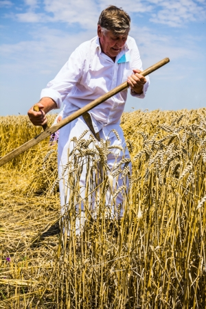 reaping: Farmers reaping on wheat field in the traditional old fashion way