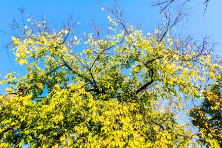 Vibrant colored treetop in front of blue sky at autumn time photo