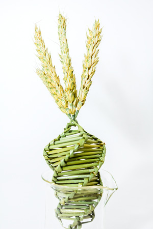 Wheat weaving is traditionally done at harvest time by interlacing wheat stalks in intricate patterns.