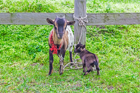 Goats grazing on natural spring meadow on farm. photo
