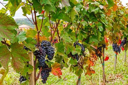 merlot: Ripe of Merlot grapes on the vine ready for harvest.