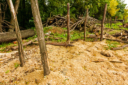 illegal logging: Behind the chopping place are logs stacked with a green forest in the background.