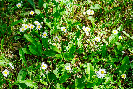 heave: White daisies in a garden top view detail of meadow