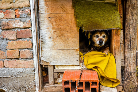 peaking: Dog is peaking from his wooden dwelling house
