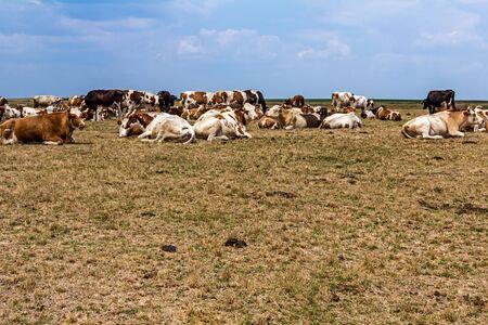 red heifer: Las vacas y novillas j�venes se relajan tranquilamente en el prado en los pastos de verano. Foto de archivo