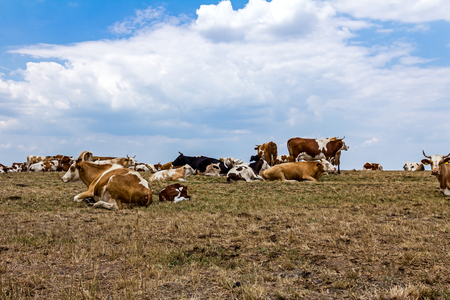 heifers: Cows and young heifers are relaxing quietly in the meadow on summer pasture. Stock Photo