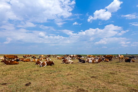 red heifer: Cows and young heifers are relaxing quietly in the meadow on summer pasture. Stock Photo