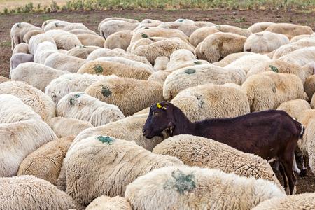 pecora: Gregge di pecore ha un capro nero come una parte della loro famiglia.