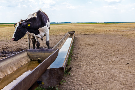 trough: Cow, heifer is standing by a water metal trough in the summer meadow.