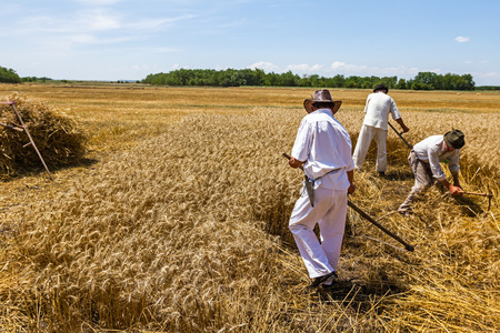 People are reaping wheat manually in a traditional rural way. Stock Photo