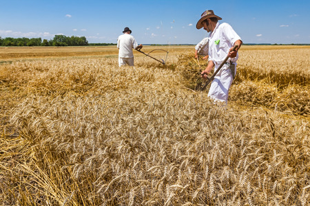 People are reaping wheat manually in a traditional rural way. Zdjęcie Seryjne
