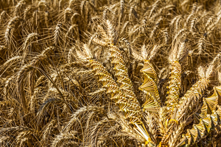 changing form: Wheat weaving is traditionally done at harvest time by interlacing stalks in intricate patterns.