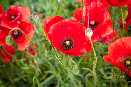 View on a detail in Meadow with beautiful bright red poppy flowers in spring.