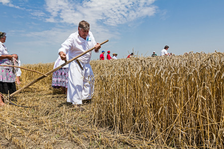 reaping: Farmer is reaping wheat manually with a scythe in the traditional rural way. Stock Photo