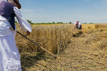reaping: Man and woman are reaping wheat manually in a traditional rural way.