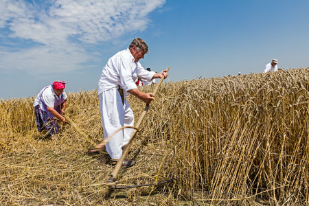 reaping: Farmer is reaping wheat manually with a scythe in the traditional rural way. Editorial