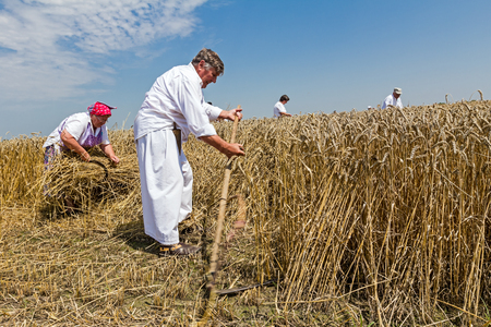 haymaking: Farmer is reaping wheat manually with a scythe in the traditional rural way. Editorial