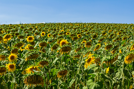 contorted: Sunflowers in a process of growth, harvest is coming very soon.