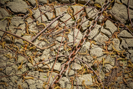 crack willow: Catkins of willow on a dry out and cracked mud.