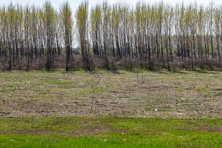 replenish: Young poplar trees in the foreground with mature trees in the background. Stock Photo