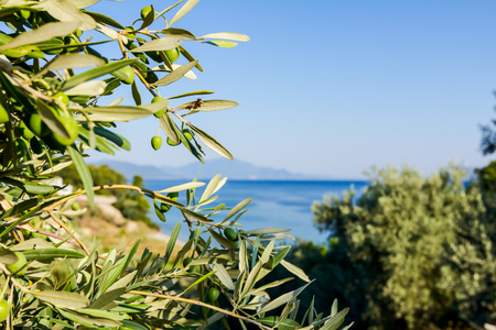 View on the canopy of green olive tree at Mediterranean sea.