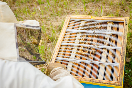 Beekeeper is controlling situation in bee colony, taking out the honeycomb on wooden frame. Stock Photo