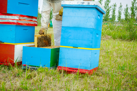 Beekeeper is taking out the honeycomb on wooden frame to control situation in bee colony. Stock Photo