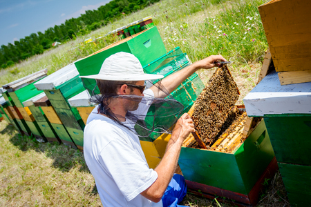Beekeeper is taking out the honeycomb on wooden frame to control situation in bee colony. 版權商用圖片