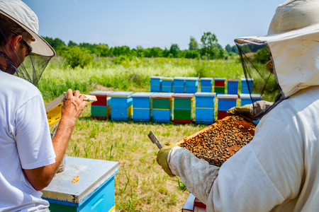 Beekeepers are taking out the honeycomb on wooden frame to control situation in bee colony.
