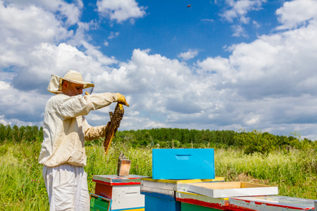 Beekeeper is holding up wooden frame with bees to control situation in bee colony.