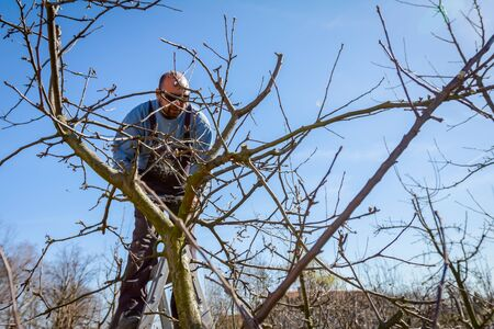 Farmer is pruning branches of fruit trees in orchard using loppers at early springtime day using ladders.