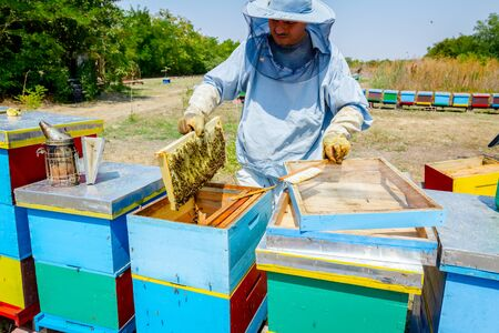 Beekeeper is taking out the honeycomb on wooden frame to extract honey from bee hives, harvest. Standard-Bild