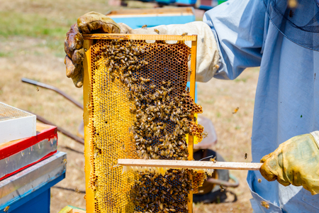Apiarist sweeps out bees from honeycomb with brush to extract honey, harvest time. Stock Photo