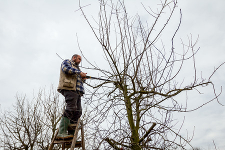 Gardener is climbed on ladders and he cutting branches, pruning fruit trees with long shears in the orchard. Foto de archivo
