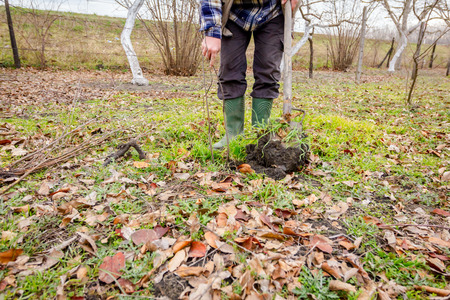 Gardener is using shovel to planting young fruit tree with roots to multiply minor plants in his orchard. 版權商用圖片