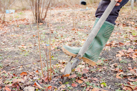 Gardener is using shovel to dig out young fruit tree with roots to multiply minor plants in his orchard.