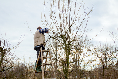 Gardener is climbed on ladders and he cutting branches, pruning fruit trees with long shears in the orchard. Stock Photo