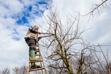 Gardener is climbed on ladders and he cutting branches, pruning fruit trees with long shears in the orchard. Banco de Imagens