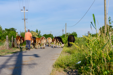 Two shepherds are driving a herd of bloodstock domestic cows home to the barn after pasture on asphalt road in village.
