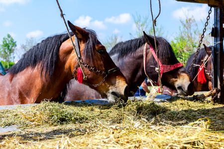 Brown thoroughbred horses are tied with reins and they are eating fresh hay from truck trailer. 写真素材