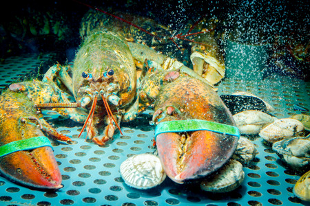 Live exotic and expensive crayfish with tied claws are in aquarium, tank at traditional seafood restaurant for sale. Stock Photo